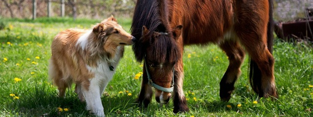 collie_dog_horse_grass_friendship_59871_640x3601